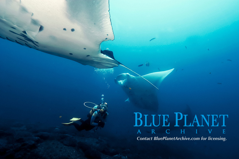 A reef manta ray, manta alfredi, glides over a cleaning station in Mozambique, Africa, Indian Ocean Note large shark bite at rear.