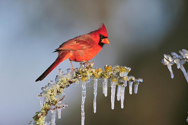 Northern Cardinal (Cardinalis cardinalis), male perched in ice covered bush, Dinero, Lake Corpus Christi, South Texas, USA