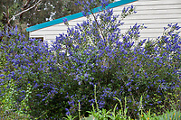 Ceanothus 'Ray Hartman', California native blue flowering shrub in Fullerton Arboretum, Southern California