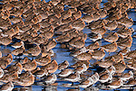 A flock of Western Sandpipers and Dunlin rest on the shore in the early morning, Bowerman Basin, Grays Harbor, Washington, USA