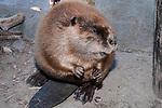 North American Beaver sitting on land eating