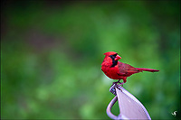A Red Cardinal bird purched on a chair.