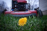 Flowering dandelion in Midwest fescue yard in front of red lawnmower.