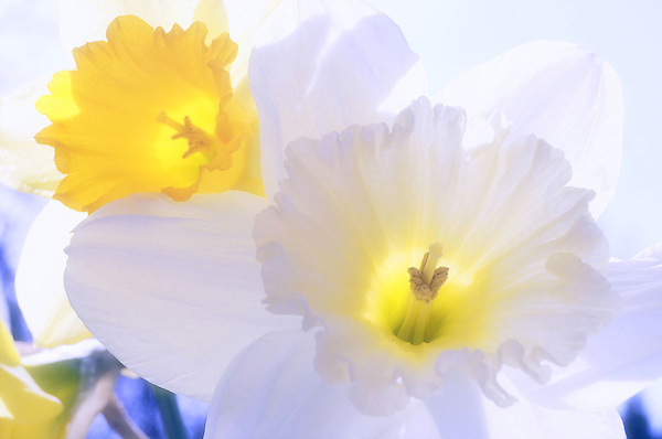 Daffodils In Spring Pastels