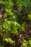 Bunchberry flowering in northern Wisconsin.