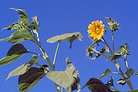 Sunflower (Helianthus annuus) Seed Head and Leaves