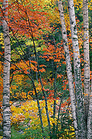 Paper birches and red maples<br />   along the Wild River<br /> White Mountains National Forest<br /> New England,  Maine