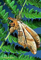 LE41-033b  Polyphemus Moth - adult newly emerged from cocoon, inflatingw wings - Antheraea polyphemus.