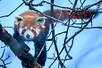 Adult red panda (Ailurus fulgens) (western subspecis A. fulgens fulgens) (sometimes lesser panda, red bear-cat, red cat-bear) climbing in temerate forest understorey. Mid montane forest, Himalayan foothills, Singalila National Park, India / Nepal Border.