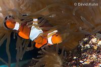 0321-1135  False Percula Clownfish (Ocellaris Clownfish), Amphiprion ocellaris, with Bulb-tipped Anemone, Entacmaea quadricolor  © David Kuhn/Dwight Kuhn Photography
