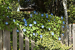Heavenly blue morning glory vines<br />