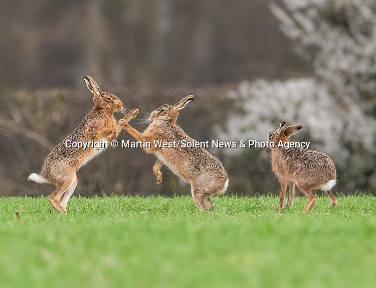 "MAD AS A MARCH HARE<br /> <br /> Pictured: Two mad march hares do battle as they appear to be boxing each other in a field near Hitchin, Hertfordshire. <br /> <br /> The images were taken by Martin West, who spent hour observing the hares waiting for the perfect moment.  <br /> <br /> The 37 year old said ""This behaviour is usually observed at the start of spring during mating season, with he females getting on their hind legs to box the males away"".<br /> <br /> ""I've been trying to capture this for years and I'm over the moon to have finally seen it!"" <br /> <br /> Please byline: Martin West/Solent News<br /> <br /> © Martin West/Solent News & Photo Agency<br /> UK +44 (0) 2380 458800"
