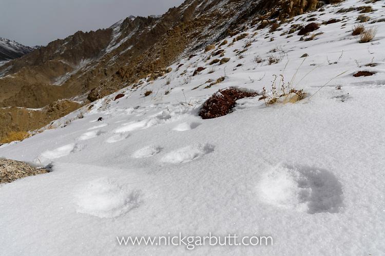 Foot prints (pug marks) of snow leopard (Panthera uncia)(formerly Uncia uncia) in snow on ridge line. Ladakh Ranges, Himalayas, Ladakh, India.