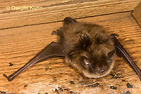 MA20-601z  Little Brown Bats, Myotis lucifugus