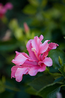 A close up of a pink flowering plant