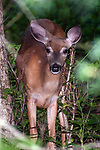 White-tailed deer doe walking towards camera, vertical.