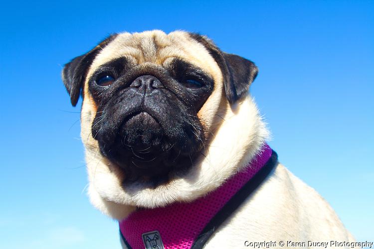 A pug dog strikes a stoic pose. (photo © karenducey.com)