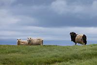 Färöer-Schaf, Färöer-Schafe, Schaf, Schafe, Färöer, Färöer-Inseln, Färöer Inseln, sheep, Faroe, Faeroe Islands
