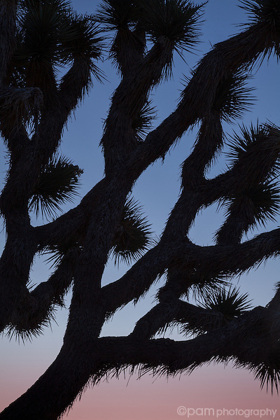 Close-up of Joshua Tree at sunrise