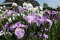 Colorful irises in full bloom at Horikiri Iris Garden