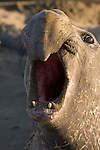 Northern Elephant Seal Photos