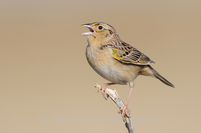 Singing adult male Grashopper Sparrow (Ammodramus savannarum). Cimarron National Grassland, Kansas. April.