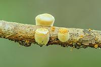 "White Bird's Nest Fungus (Crucibulum laeve) immature with lid still covering the ""nest"" and fuzzy sides."
