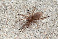 Glattbauchspinne, Plattbauchspinne, Glattbauch-Spinne, Plattbauch-Spinne, Drassodes cf. lapidosus, stone spider, Mouse Spider, Ground spider, Glattbauchspinnen, Plattbauchspinnen, Gnaphosidae, Drassodidae, Mouse Spiders, Ground spiders