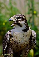 EA03-001z   Peregrine Falcon - Cornell University Breeding Facility - Falco peregrinus