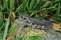 Nordische Gebirgsschrecke, Weibchen, Melanoplus frigidus, Bohemanella frigida, Nordic Mountain Grasshopper, High Mountain Grasshopper, female