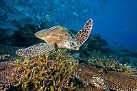 A reef scene with a green sea turtle, Chelonia mydas, hard coral and schooling jacks, Sipidan Island, Malaysia.