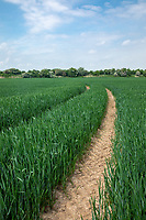 Winter wheat field with tramlines - Lincolnshire, June