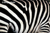 MA38-003z  Zebra - stripes - pattern in nature - Equus spp.