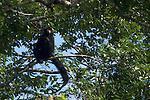 Reserve naturelle des Nouragues. .singe atèle ou singe araignée noir