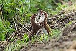 Weasels fighting by Steve Moore-Vale