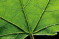 MP03-001d  Maple Leaf - veins showing netting of dicot plant leaf - Acer rubrum