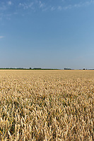 20-7-2021 Crop of Winter Wheat <br /> ©Tim Scrivener Photographer 07850 303986<br />      ....Covering Agriculture In The UK....