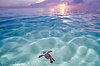 green sea turtle, Chelonia mydas, hatchling, swimming out at sunrise, Sipadan, Sabah, Malaysia, Indo-Pacific Ocean