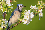 Blue jay perched in a blossoming apple tree.