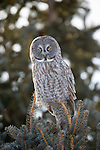 Great Gray Owl perched in a conifer in Jackson Hole, Wyoming.