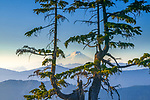 Two conifers on Austin Pass frame Mount Baker, Washington.