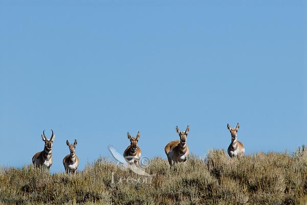 Pronghorn Antelope (Antilocapra americana)--buck with his harem.  Western U.S., fall.