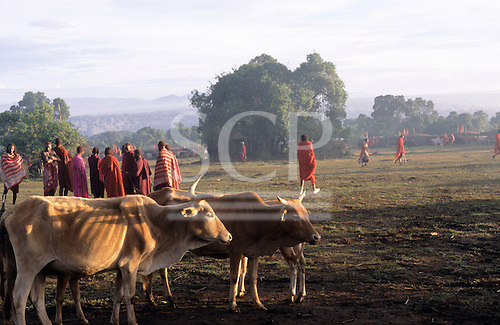 Lolgorian, Kenya. Group of Maasai with herd of cows near to the manyatta temporary village of the Eunoto ceremony.