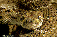 1R15-022z  Western Diamondback Rattlesnake - close-up of head showing heat sensing pits - Crotalus atrox