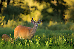 Young white-tailed buck performing flehmen