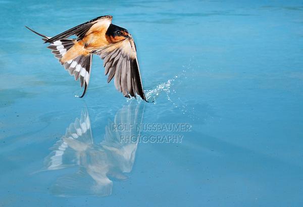 Barn Swallow (Hirundo rustica), adult male bathing in pond, Dinero, Lake Corpus Christi, South Texas, USA