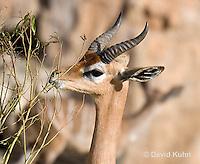 0523-1107  Southern Gerenuk Eating Leaves Using Long Neck to Reach them, Litocranius walleri walleri  © David Kuhn/Dwight Kuhn Photography
