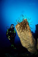 scuba diver and featherstar on a big sponge, Gangga Island Resort, North Sulawesi, Indonesia, Pacific Ocean