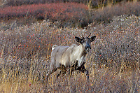 Woodland Caribou or mountain caribou (Rangifer tarandus caribou) cow, Northern Rocky Mountains,  British Columbia.  Fall.