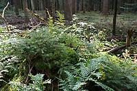 GERMANY, lower saxonia, Forest / DEUTSCHLAND, Niedersachsen, Wald, Waldpflanzen, Farn, junge Tannen auf altem Baumstumpf
